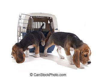 beagle, hundebabys