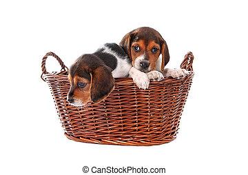 beagle, hundebabys, in, a, korb