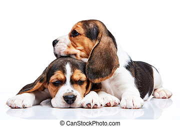 beagle, hundebabys, weiß, hintergrund