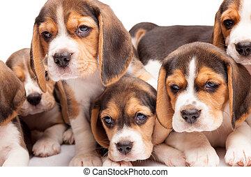 beagle, hundebabys, weißes, hintergrund