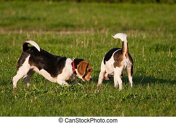 beagle, hunden