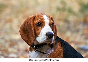 beagle, hunden, traurige , looks.