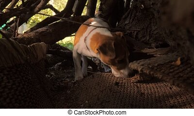 Beagle hunting. Dog Jack Russell Terrier crawling into the ...
