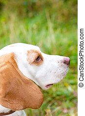 Beagle in a field looking out