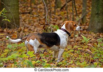 beagle in autumn woods