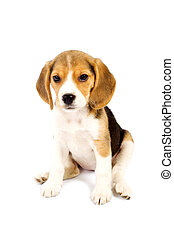 Beagle in front of white background - picture of a lazy...