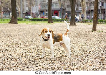 beagle in park