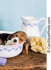 Beagle in wash basin