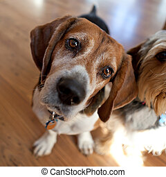 beagle, inclinaison, tête