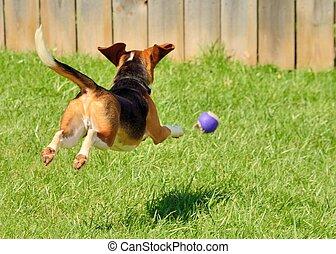 beagle, jagen, a, kugel