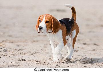 beagle, junger hund, auf, a, sandstrand