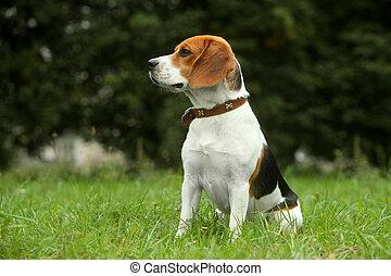 beagle, junger hund, auf, gras