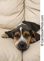 beagle, junger hund, basierend