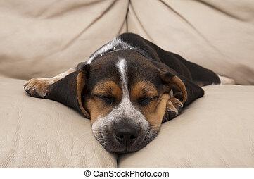 beagle, junger hund, eingeschlafen