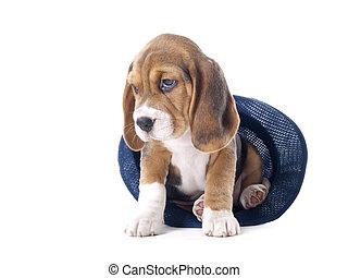 beagle, junger hund, in, a, hut