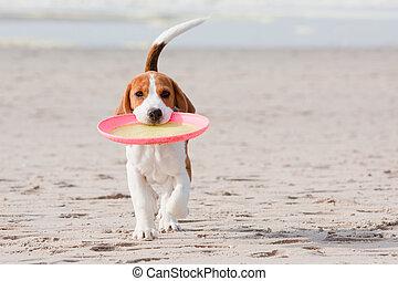 beagle, junger hund, spielende
