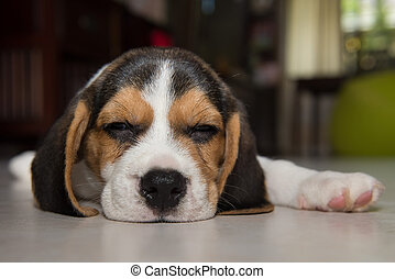 beagle, junger hund