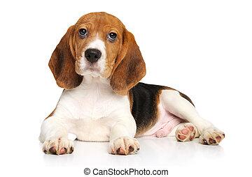 beagle, junger hund, weiß, hintergrund