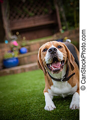 beagle laying down on grass