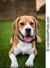 beagle laying down on the grass
