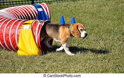 Beagle Leaving Red Agility Tunnel, copy space