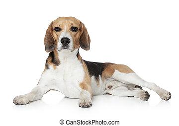 beagle, liegen, weiß, hintergrund