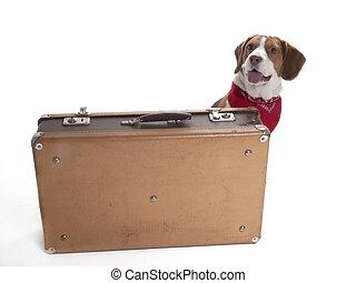 beagle, mit, a, koffer, auf, a, weißer hintergrund, in, studio