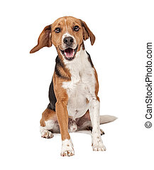 Beagle mix dog sitting down and isolated on white