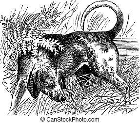 Beagle or Canis lupus familiaris vintage engraving
