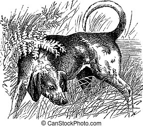 Beagle or Canis lupus familiaris, vintage engraving. Old engraved illustration of a Beagle.