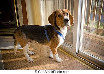 Portrait of a young, tri-colored beagle puppy.