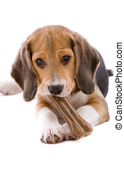 Beagle pup - Adorable and cute beagle pup chewing on a bone
