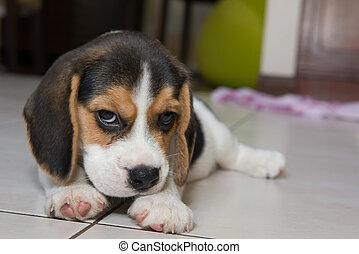 beagle puppy, beagle