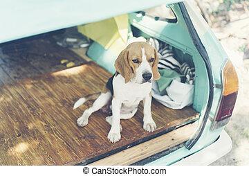 beagle Puppy dog in car