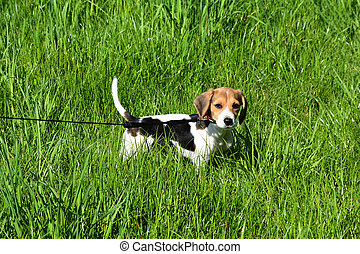 Beagle Puppy Dog on a Leash in a Green Grass Field