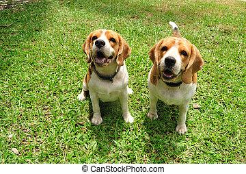 Beagle puppy dogs sitting on green yard.
