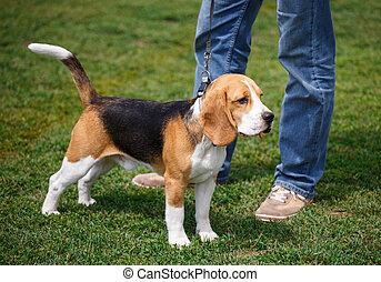 beagle puppy in breed dog