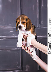 Beagle puppy in hands