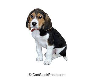 Beagle puppy isolated on white background. Study of dog breeds, photographs of pets.