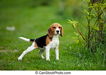Beagle puppy old standing on green grass in summer