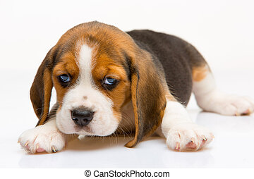 Beagle puppy on white background