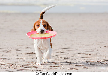 Beagle puppy playing - Small dog, beagle puppy playing with...