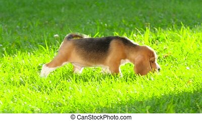 Beagle puppy with a noble posture lies quietly in the grass....