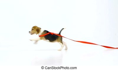 beagle puppy with red ribbon. Slow motion