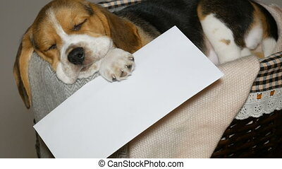 Beagle puppy with white envelope in basket for dogs - Beagle...