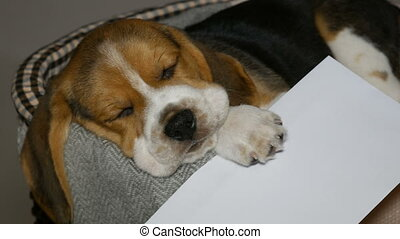 Beagle puppy with white envelope in basket for dogs