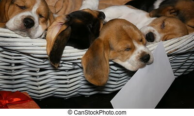 Beagle puppyies in the basket for dogs