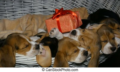 Beagle puppyies in the basket for dogs with gift box - Cute...