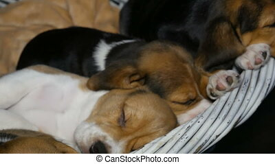 Beagle puppyies sleep in the basket for dogs