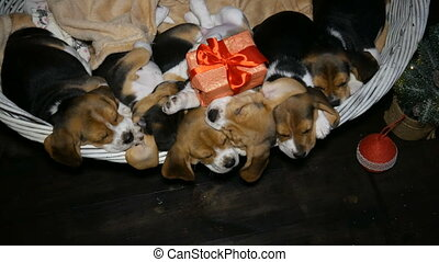 Beagle puppyies with red gift box in the basket for dogs -...